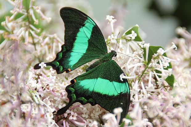 Otakarkoviti Papilionidae Treking Cz